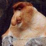 proboscis-monkey-246x300